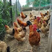 Инкубационное яйцо и цыплята Кучинской Юбилейной, в Ивантеевка
