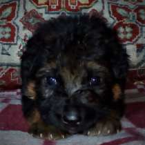 Продам щенка немецкой овчарки, в Иванове