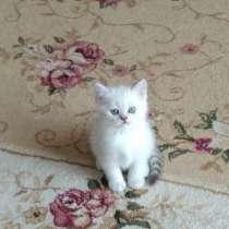 Продам шотландских котят, в г.Орша