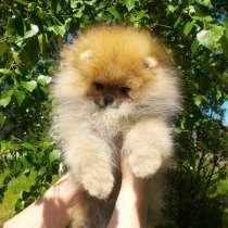 Померанцы, самые красивые щенки, в Туле