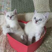 Шотландские котята, в Новороссийске