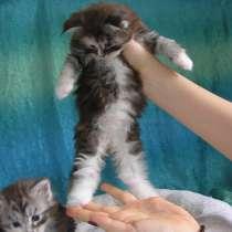 Котята породы Мейн-Кун, в Иванове