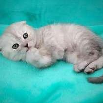 Британские котята, в Симферополе
