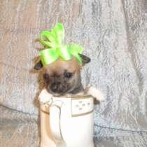 щенки чихуа-хуа 1.5 месяцев, в Уфе