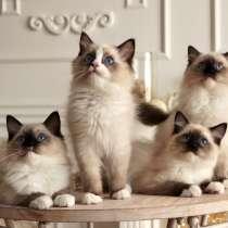 Beautiful Ragdoll kittens, в г.Рига