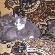 Котята полупородистые! Два мальчика и две девочки, в г.Барановичи