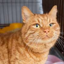 Роскошный рыжий кот Гарфилд ищет дом, в Москве