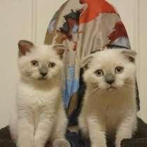 SCOTTISH straight and fold kittens, в г.Нью-Йорк