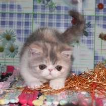 Милая экзотическая кошечка, в Москве