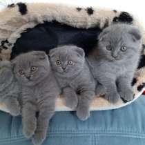 BKH und Scottich fold Kitten, в г.Виттен