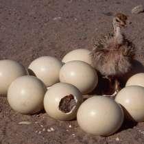 Инкубационное яйцо африканского страуса, в Санкт-Петербурге