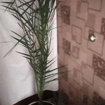 Финиковая пальма, в Барнауле