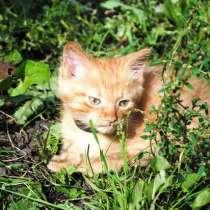 Продам котенка породы мэйн кун, в Кемерове