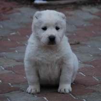 Продаю здоровых и привитых щенков Алабая, в г.Бишкек