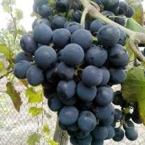 Виноград, в Белгороде