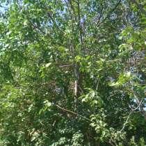 Продам орех на корню, в г.Бишкек