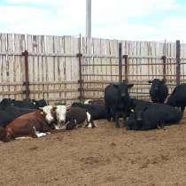 Бычки на доращивание мясных пород, в Челябинске
