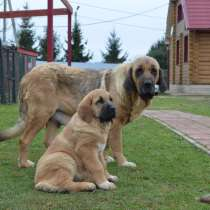 Puppies of Spanish Mastiff, в г.Lancaster
