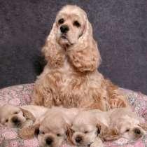 Продаются щенки Американского Кокер Спаниеля, в Екатеринбурге