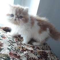 Персидский котёнок, в Москве