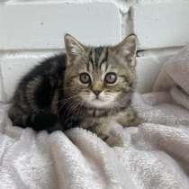 Британские котята, в Перми