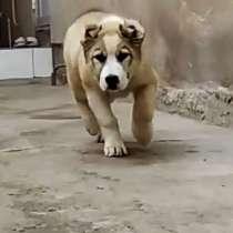 Туркменский Алабай щенок, чистокровный, 75 дней, самец, в г.Бухара