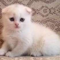 Куплю шотландскую вислоухую кошечку, окрас белый, вайбер, в г.Тирасполь