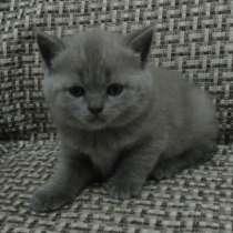 Шотландские котята, в Асбесте
