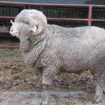 Племенные овцы Прекос (Скот из Европы класса Элита), в Красноярске