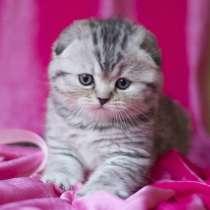 Вислоухие котята серебристые, в Москве