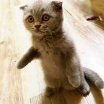 Продам шотландского котенка, в Братске