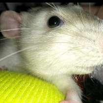 Крыса породы дамбо, в г.Могилёв