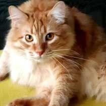 Рыжий сибирский котенок Томас, вес 10 кг!, в Москве