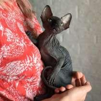 Котёнок Канадского Сфинка, в Москве