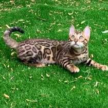 Бенгальский котенок, в г.Минск