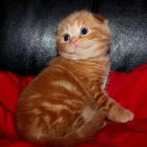 Огненно-рыжие мраморные шотландские котята, в Москве