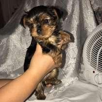 Продается щенок йоркширского терьера, в Дзержинске