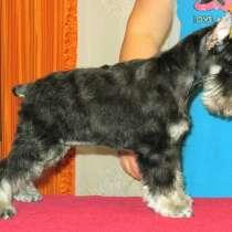 Продам щенка цвергшнауцера, в Братске