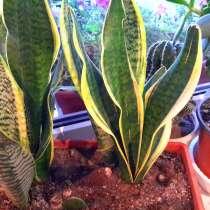 Сансивьерия -тещин язык комнатное растение. Фмр, в Краснодаре