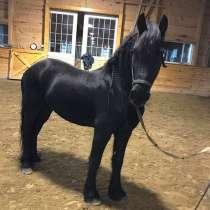 Красивая и гладкая верховая езда Friesian Mare, в г.Gennep