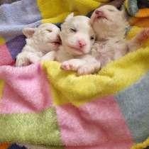 На продажу два щенка мальтийской болонки, в г.Назарет