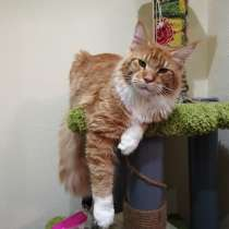 Кот мейн кун, в г.Лондон