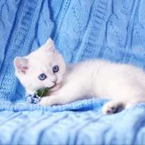 British Shorthair Femele ns 1133.Sapphire eyes, в г.София