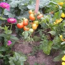 Саженцы томатов, в Брянске