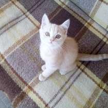 Шотландский Котёнок (Скоттиш-страйт), в Симферополе