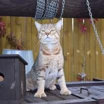 Пиксибоб ковбойская кошка, в Троицке