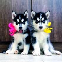 Яркие красивые щенята хаски, в Россоши