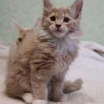 Шикарные котята мейн-кун, в г.Гдыня