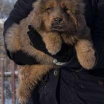 Продаются высокопородные щенки Тибетского мастифа, в Москве