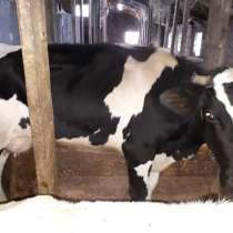 Продаю корову с телятами, в Ногинске